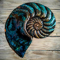 Andreucetti Copper Wall Art Nautilus Fossil